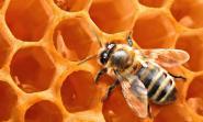 Medicamento feito com uma espécie de resina produzida pelas abelhas poderá ajudar a previnir e tratar ulcerações bucais
